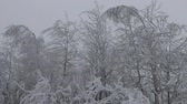 pokrytý : Siberian frosts. Northern winter forest. Trees covered with frost, rime