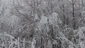 cristalino : Siberian frosts. Northern winter forest. Trees covered with frost, rime