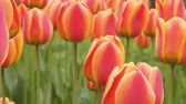 украшать : pink Tulip flower is a favorite and bright. garden decoration flowers landscape design Стоковые видеозаписи