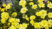 heliopsis : Bright yellow flowers in summer garden. Probably heliopsis. Flower beds as feminine pleasure