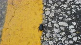zırhlı : Cernatescu beetle crawling on road by dividing strip of road and will be certainly crushed by car Stok Video