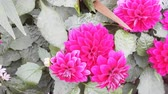 parterre : Dahlia pink on flower bed, flower garden, decorative garden