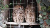 owl : Animals in captivity. Pair of owls (Scops owl) in small private zoo, Freedom birds, bird in cage - animal protection; wildlife protection Stock Footage