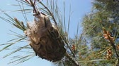 mariposa : Forest pests. Nest of butterflies (Pine Processionary Caterpillar, Thaumetopoea pityocampa), made by caterpillars. Mediterranean Turkey, April