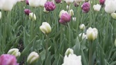 late spring : beautiful garden Tulip flower in flowerbed in summer