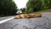 umírající : Adult squirrel hit by car on paved forest highway. Car as cause of death of many millions of mammals every year. Ð¡ar rides on opposite lane near corpse of squirrel Dostupné videozáznamy
