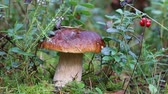 penny : Porcini mushroom (king bolete, Boletus edulis) in morning dew, against forest, bushes of flowering heather, berries cranberries. Mushroom picking, autumn forest, biocenosis of coniferous forest Stock Footage