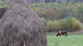 haymaking : Autumn in village. Hay dried up and folded in stack. Cows graze in Hayfield