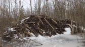 waterworks : Beavers in winter. Beavers built lodge more than two meters high, entrance to house is under ice Stock Footage