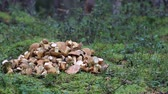 agd : In old pine forest mossiness mushroom (Xerocomus badius) - mushrooms picking in pile