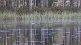 zsíros : Autumn misty lake with diving wild duck Goldeneye. Quiet lake in North woods. In background bulrush