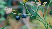 původní : Shrub blue blueberry in autumn forest, leaves drop, berries are overripe