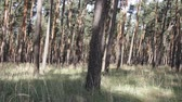 boreal : Summer day in pine forest. Transparent pinewood with dappled sunlight. Thickets of cereals among trees - grass pine forest, littoral area Stock Footage