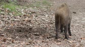 kismalac : Wild boar (Sus scrofa) digs snout acorns in woods, beast copes well with task despite rocky soil, forestry aspect. Big game hunting for hoofed mammals, ungulates, game husbandry