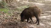 brute : Wild boar (Sus scrofa) digs snout acorns in woods, beast copes well with task despite rocky soil, forestry aspect. Big game hunting for hoofed mammals, ungulates, game husbandry