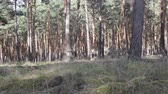 sektör : Central European forests. Old natural pine forest in Germany.