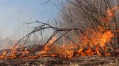 destructive : Prairie fire. Dry grass blazes among bushes, fire in bushes area. Fire in shrub kills huge number small animals, especially insects. Climate change, increased frequency fires, destruction of forests Stock Footage