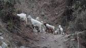 amplo : Pashmina sheeps. Sheep and goats on hillside. India. Kullu valley. Himalayas.