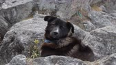 дворняжка : Black dog resting on cliff ledge. Dogs Of The Himalayas Стоковые видеозаписи