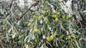 sektör : Olives time of autumnal maturity. Part of olive green, part black, branches and fruit. Olive groves in Catalonia. Olives and pickles are good appetizers, virgin olive oil. Evergreen shrub