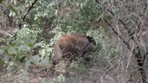 hog : Wild boar (Sus scrofa) Wild boar breaks into bushes branches as food object, or object of shifted aggression or as material for daytime nest. Forestry aspect Stock Footage