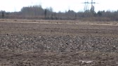 депо : Many Wild geese resting on plowed field. Pay attention to protective coloring of birds, these birds do not differ from clods of earth in color and shape, their presence gives only movement