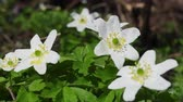 perennial : Wood Anemones (Anemone nemorosa) in typical light forest, first spring flowers. White forest flowers in dew drops