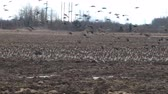 bean goose : Birds and agriculture. Thousands of geese (bean goose and white-fronted goose) landing in plowed field. Migration and migration stops (stop-over). Abundance of birds can be harmful to farming
