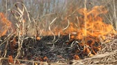 sos : Prairie fire. Dry grass blazes among bushes, fire in bushes area. Fire in shrub kills huge number small animals, especially insects. Climate change, increased frequency fires, destruction of forests Stok Video