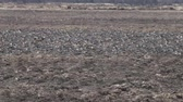 grain growing : Many Wild geese resting on plowed field. Pay attention to protective coloring of birds, these birds do not differ from clods of earth in color and shape, their presence gives only movement