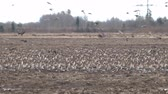 grain growing : Birds and agriculture. Thousands of geese (bean goose and white-fronted goose) landing in plowed field. Migration and migration stops (stop-over). Abundance of birds can be harmful to farming