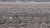 migrating : Many Wild geese resting on plowed field. Pay attention to protective coloring of birds, these birds do not differ from clods of earth in color and shape, their presence gives only movement