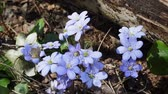 europaeus : Spring flowers Europe. Noble mayflower (Hepanca nobilis). Blue eyes of spring with long eyelashes, drops tears (rain) call this flower in people. Flowers in old deciduous forest on background of trees Stock Footage