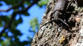 coleoptera : Longhorn beetle (cerambycid spruce beetle, Monochamus sp.) crawling on oak - strong beetle and rough bark Stock Footage