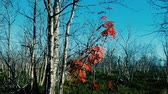 final : Autumn. Foliage showered with birch trees, last red leaves of mountain ash. Mountain deciduous forest. Lapland Vídeos