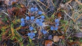yabanmersini : Ripe bilberry in wood in August. Berries in drops of rain. Particle of forest-tundra Stok Video