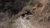 leading : Loaded mules (equus mulus) and donkeys coming along a mountain path. Caravan of mules, baggage animal, anciet freight hauling. Himalayas