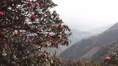 çiçekli : Ghostly outlines of mountains and flowering tree rhododendron. Foggy and blooming Himalayan valleys. Spring in the valley of Kullu, India