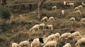 amplo : Sheep are fed on hillsides India. Kullu valley. Himalayas