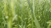 kłosy : Good year. Bread cereals are wall. Barley at the stage of milky-wax ripeness Wideo