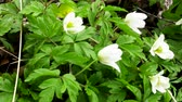 maj : Wood Anemones (Anemone nemorosa) in typical light forest, first spring flowers. White forest flowers in dew drops