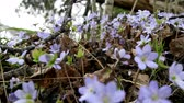 floristic : Spring flowers Europe. Noble mayflower (Hepanca nobilis). Blue eyes of spring with long eyelashes, drops tears (rain) call this flower in people. Flowers in old deciduous forest on background of trees Stock Footage