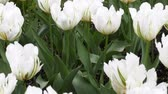 parterre : white flower Tulip is a favorite and bright. garden decoration flowers landscape design Stock Footage