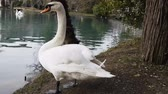 beyaz görünüm : Mute Swan said most beautiful Regal bird because it effectively reveals fether and crucially swims. But its just aggressive posture, and misconception comes from medieval bestiary