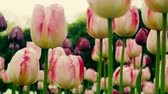 parterre : pink Tulip flower is a favorite and bright. garden decoration flowers landscape design Stock Footage