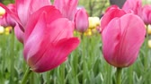 günlük : red flower Tulip is a favorite and bright. garden decoration flowers landscape design