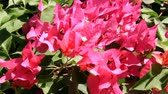 parterre : flowers bougainvillea in the yard of a resident. India, introduced species from South America