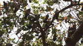 longevity : Multiplication blue rock pigeons seated on the horizontal branches of the plane tree. India