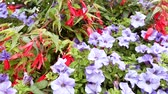 parterre : Flowering Petunia on the city flower bed, summer flower garden Stock Footage