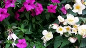 parterre : Mirabilis jalappa in parterre: last flowers in the autumn wind Stock Footage